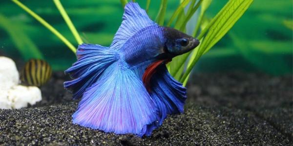 betta - Os melhores peixes para aquário de água doce