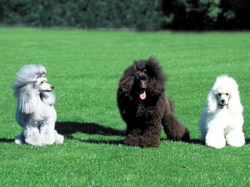 Poodles são considerados uns dos mais inteligentes do mundo animal 2