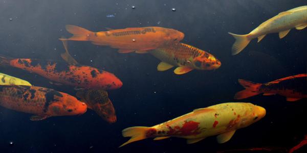 carpas - Os melhores peixes para aquário de água doce