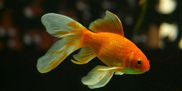 goldfish-Os melhores peixes para aquário de água doce