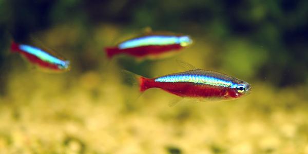 neon cardinal - Os melhores peixes para aquário de água doce