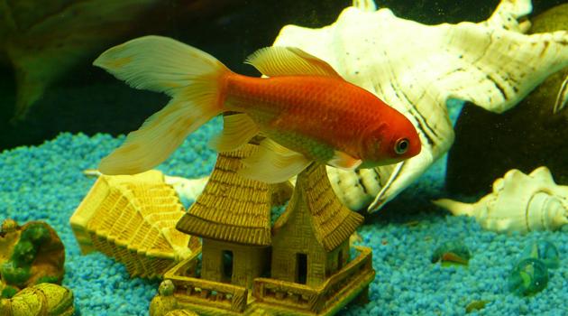 Os melhores peixes para aquário de água doce