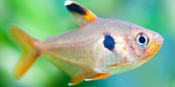 tetra rosado - Os melhores peixes para aquário de água doce