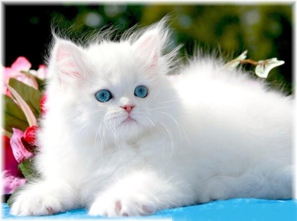 Gato Persa encanta pela doçura e beleza 1