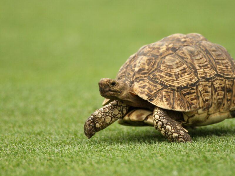 Como cuidar de tartarugas 1
