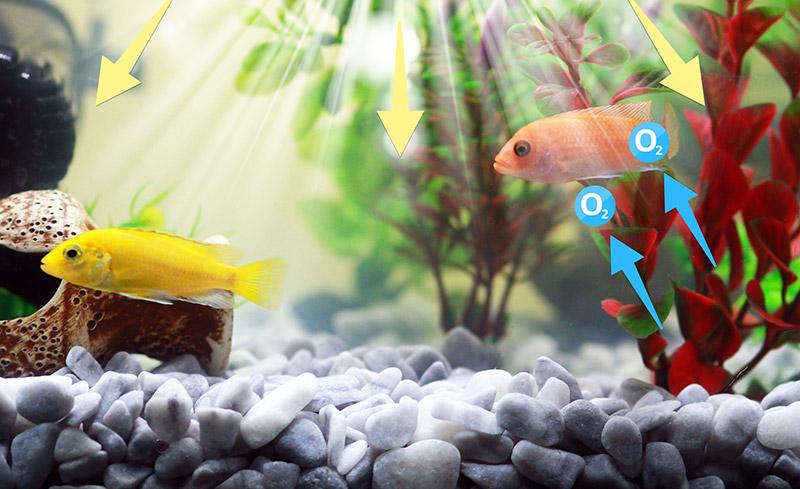 Fotossíntese no aquário- A iluminação no aquário e sua influência na vida do peixe