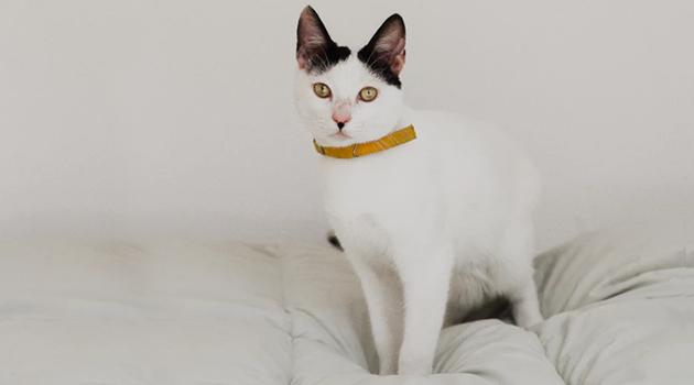 coleira - É possível passear com gatos?