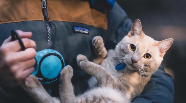 gato no colo - É possível passear com gatos?
